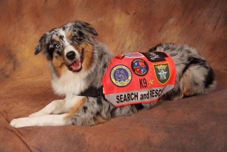 Australian Shepherd Blue Merle Search and Rescue Dog ...