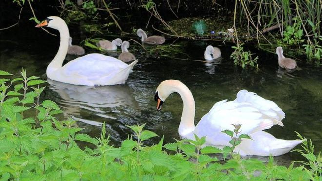 A pair swans and their six cygnets on Letcombe Brook in East Hanney.