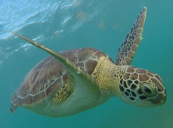Læs om hvordan du kan svømme med havskildpadder helt gratis i Mexico her: http://www.backpackerne.dk/svmme-med-havskildpadder/