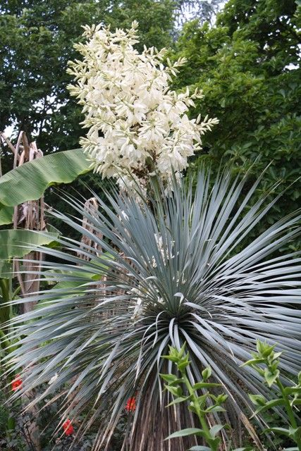Sapphire Skies Blue Beaked Yucca for sale buy Yucca rostrata 'Sapphire Skies'
