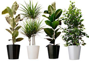 Een uitgebreide lijst van kamerplanten die de lucht zuiveren