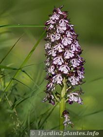 Le mois de Mai est riche en floraison de plantes sauvages