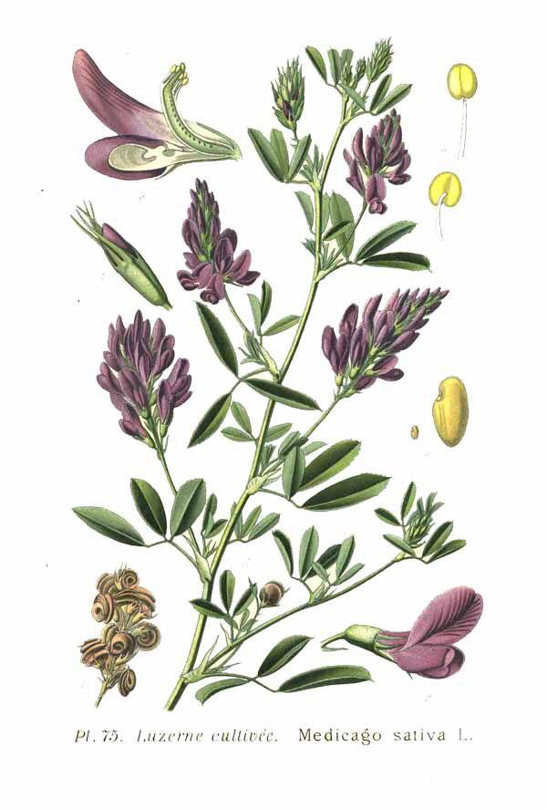 Medicago sativa - lucerne / alfalfa