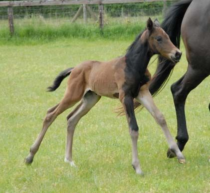 This Trakehner colt, Holme Park Van Gogh, was an excellent example of a somatic mutation. The black patch on his otherwise bay coat was the result of the agouti gene misfiring leaving that section of his coat an undiluted black.