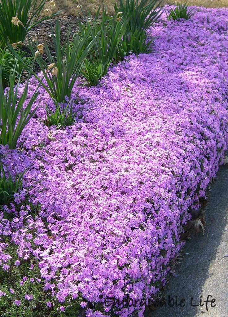"Creeping Phlox ...................... Plant in rock borders. Great for sunny slopes. Use as a groundcover to control weeds. Great as a groundcover for erosion control. Prefers slightly dry soil. Plant with Red Oak Tree. Spreads quickly. ""Scarlet Flame"" Hummingbirds favourite. Pull grass out of as soon as you see it, will steal the nutrients. Mulch in Winter with dry leaves."