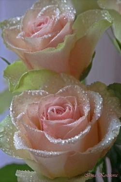 手机壳定制dsquared sneakers replica Dew Kissed Pink Roses