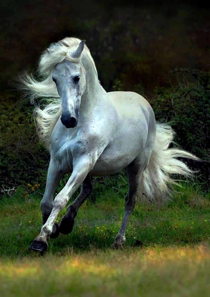 Картинки белый лошади