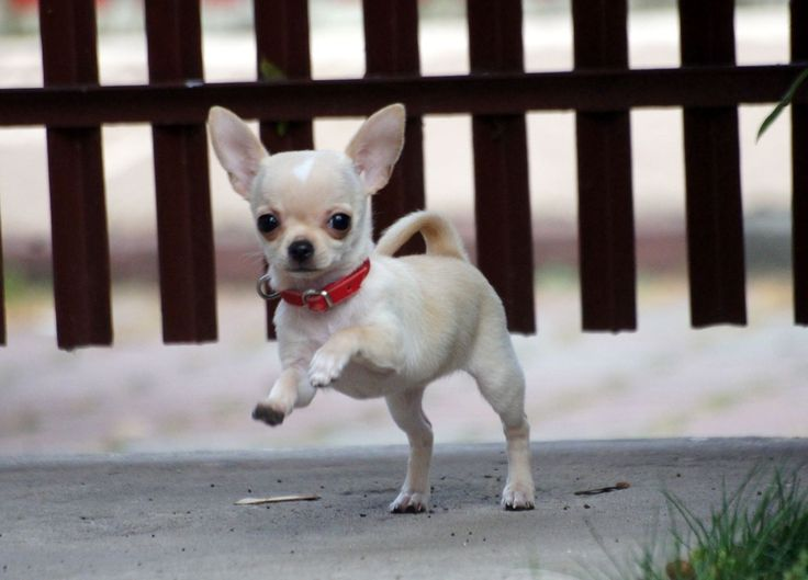 Flying Chihuahua puppy at take off.