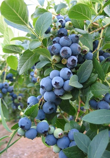 How to grow blueberries in pots - Telegraph