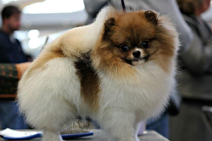 El pomerania o pomerano —también conocido como: Spitz enano alemán, o Lulú de Pomerania— es una raza canina de la familia Spitz, que recibe su nombre de la región de Pomerania Central, en Alemania oriental, y se clasifica como perro toy (juguete) por su pequeño tamaño.
