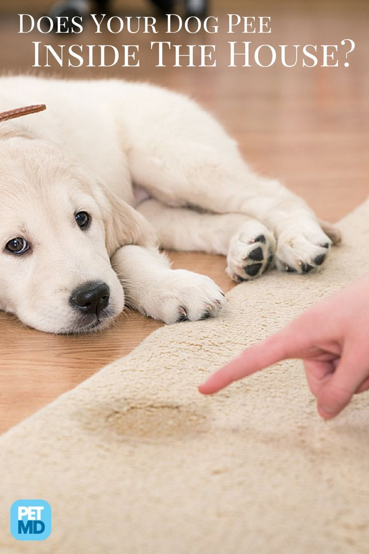 How Do I Stop My Dog From Peeing In The House Here S How House Training Puppies Dog Pee Potty Training Puppy