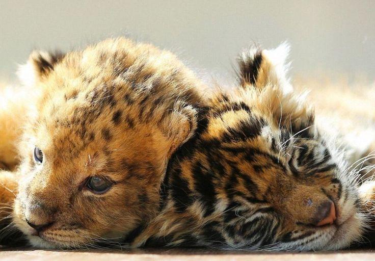 Giappone, l'incredibile amicizia tra la tigre e il leone: i cuccioli sono inseparabili