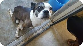 Pictures of Skittles a Boston Terrier/French Bulldog Mix for adoption in Templeton, CA who needs a loving home.