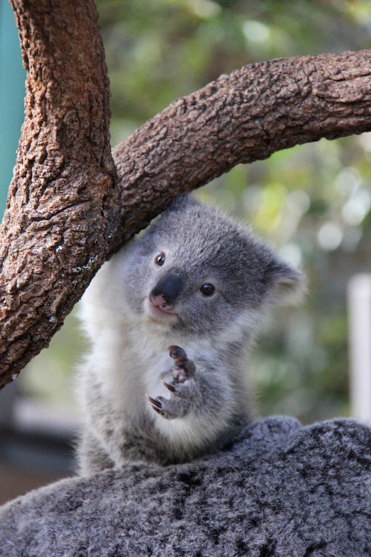 Spring, in Australia, has heralded the arrival of more tiny paws at Taronga Zoo, with two new Koala joeys emerging from the pouch to the delight of keepers and visitors.