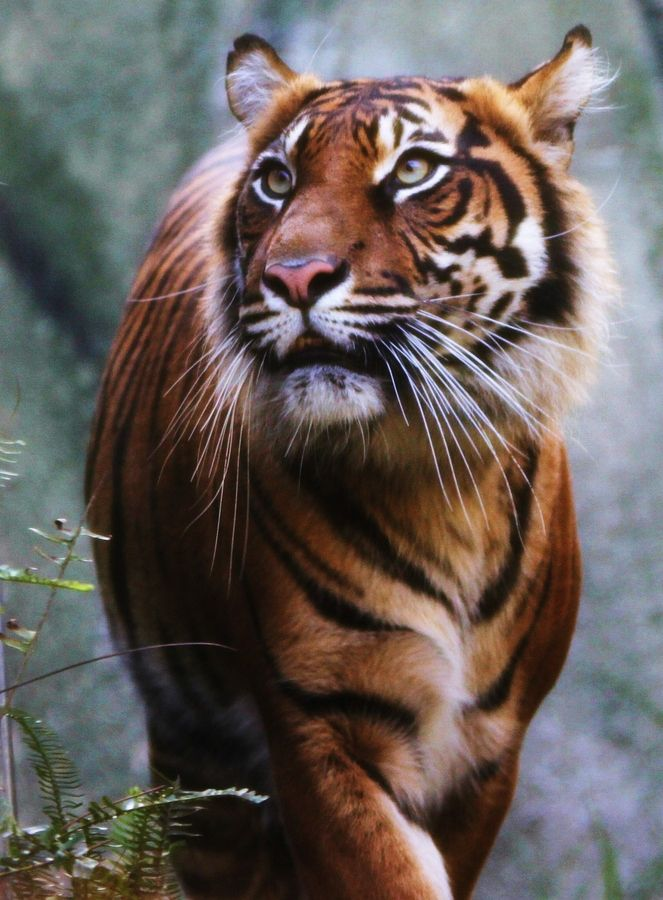 One of the most beautiful photographs of one of the most beautiful animals I've ever seen.  It just makes me want to reach out and throw my arms around this big cat.  Love it.  Kudos to the photographer.    Tiger  by Mark B, via 500px
