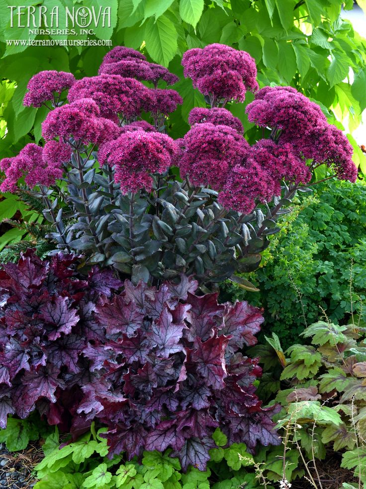Sedum 'Thunderhead' - Huge, deep rose flower heads. Very stout, upright stems are a mid-border marvel. Handsome, grey-green foliage is the perfect foil for the dramatic long lasting flowers. One of the most majestic Sedums Terra Nova® has introduced.