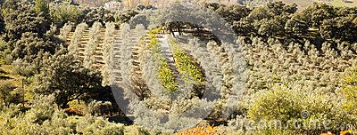 Olive grove near Ronda Malaga Andalucia Spain. Picture taken in december 2015.