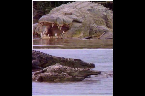 Gustave is a massive male Nile crocodile living in Burundi.