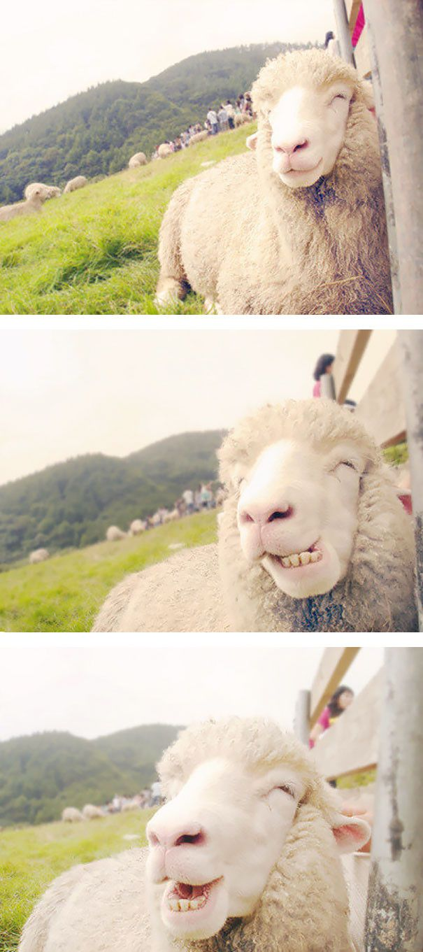 Cheesin sheep