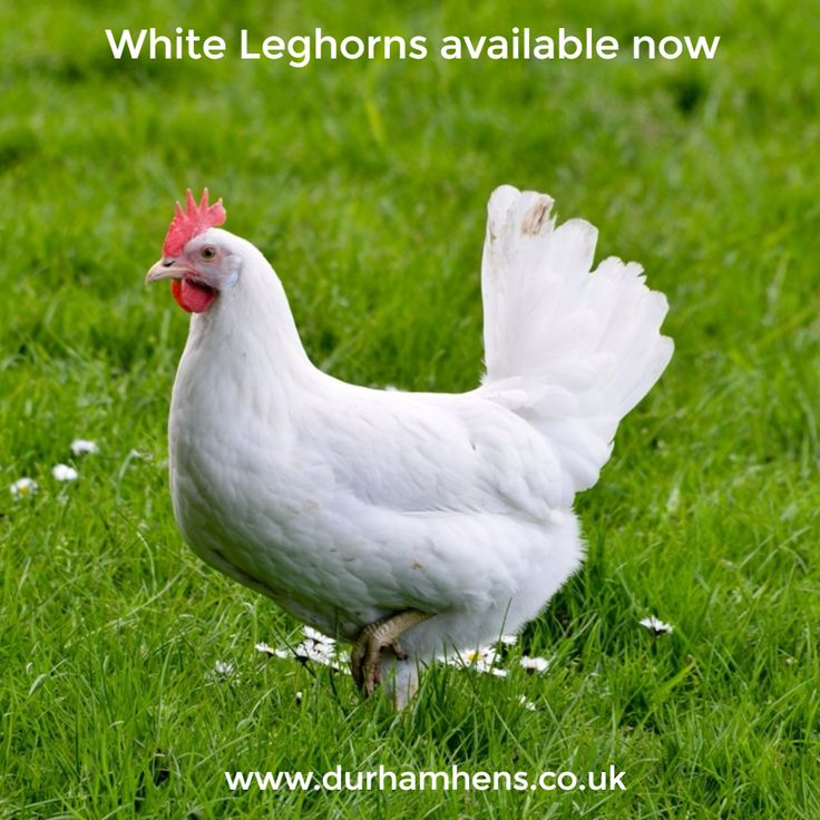 White Leghorns available now at Durham Hens www.durhamhens.co.uk/