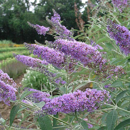 Buddleia davidii (Butterfly bush, Summer lilac) - Fine Gardening Plant Guide