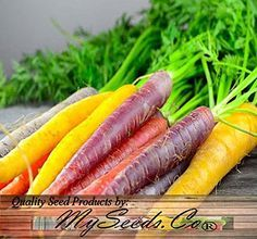 It's fun to grow carrots from seed, but carrots should never be transplanted. Start carrot seeds directly in the garden rather than indoors.