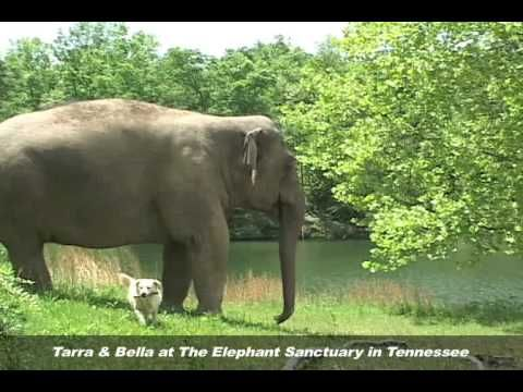 Bella The Dog Dies; Tarra The Elephant Mourns At Tennessee Sanctuary (VIDEO)