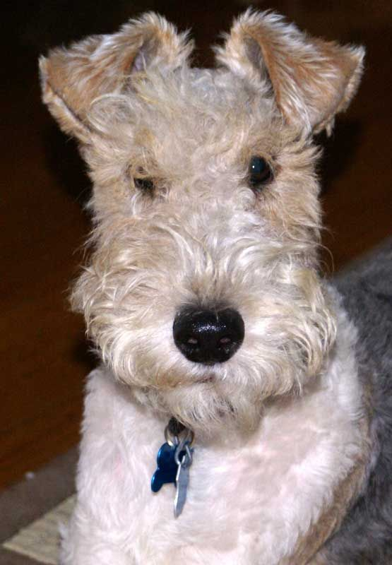 Look! It's Tin Tin's dog, Snowy/Milou! Also known as a wire haired fox terrier.