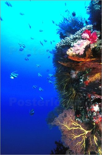 Halfterfisch Fische schwimmen neben Korallenriff Bilder: Poster von James Forte…