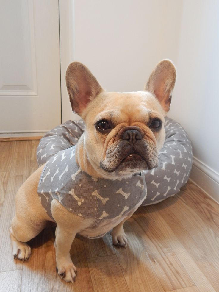 97 best french bulldogs images on pinterest | animals, puppy love