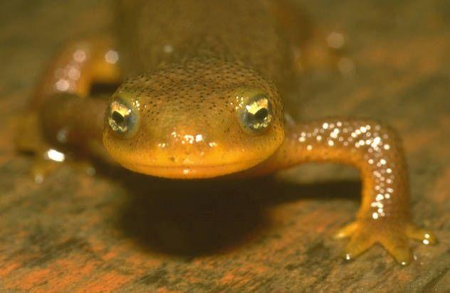 Salamandra.jpg (632×412)