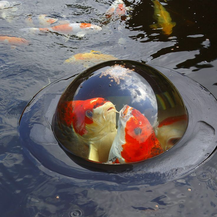 Koi close up met de floating fish dome van velda bijna for Koi ponds near me