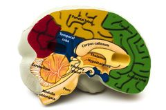 Model Hersenen Stock Afbeelding