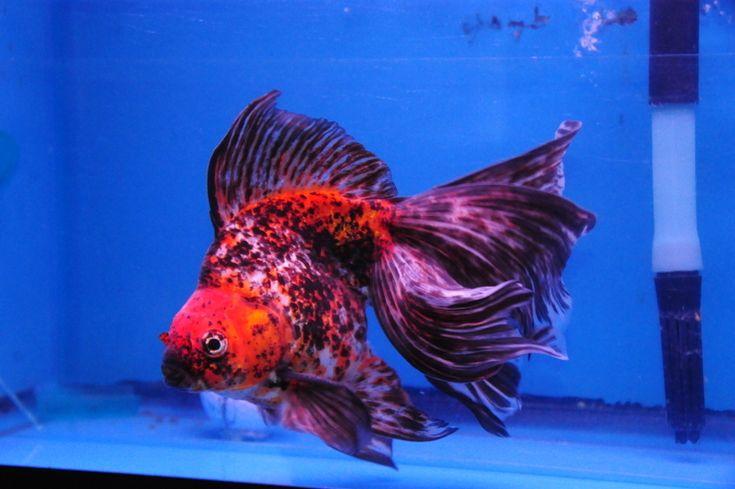 Calico Ryukin Goldfish | Calico Long-tail Ryukin » DandyOrandas.com