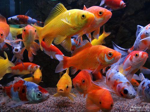 Les 410 meilleures images du tableau koi carpe for Poisson rouge koi aquarium