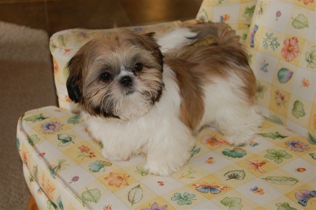 daisy patch shih tzu 25 best ideas about shih tzu for sale on pinterest shih 4146