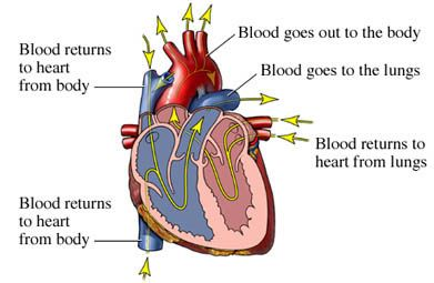 Congestive Heart Failure is a chronic condition in which the heart partially or completely loses the ability to pump blood to the body.  It can occur gradually in life or happen spontaneously, even in healthy people.  This site has a lot of information on the condition, its diagnosis, treatments, prognosis and how it effects other major organ systems.