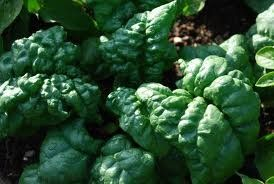 Amazon.com: Seattle Seed Co. - Spinach - Tyee Organic: Patio, Lawn & Garden