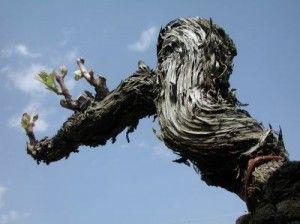 Venez découvrir les vieux ceps du château Doisy Daëne. Réservez votre visite sur wine tour booking.com