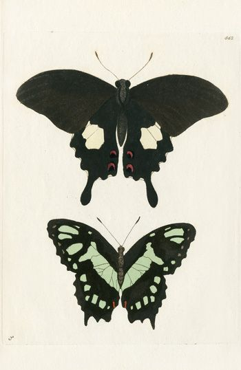 Shaw & Nodder Antique Butterfly Prints 1795