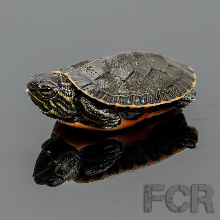 First Choice Reptiles - CB Baby Western Painted Turtle For Sale, $20.00 (http://www.firstchoicereptiles.com/cb-baby-western-painted-turtle-for-sale/)