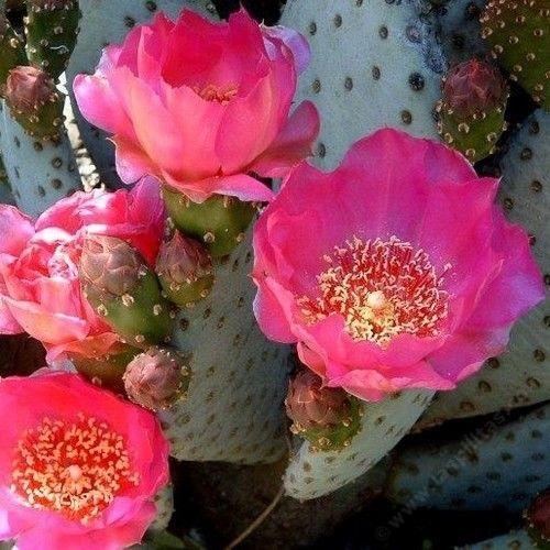 Beavertail Cactus Seeds (Opuntia basilaris) 20+Seeds