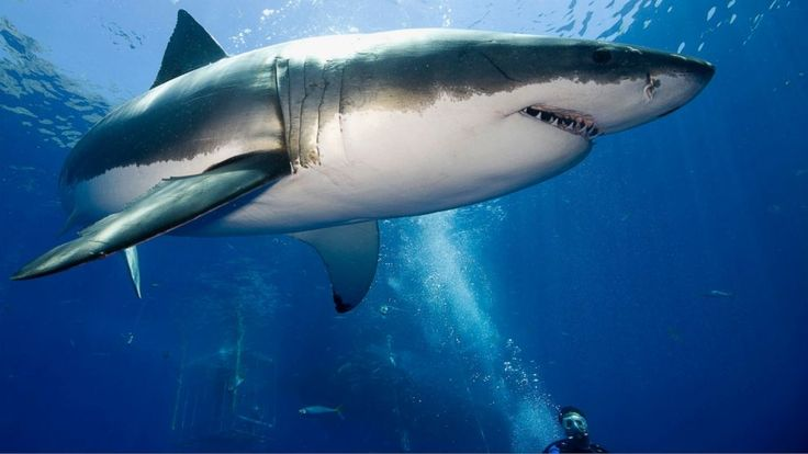 It's Summer, So What's a Great White Shark Doing in the Gulf?