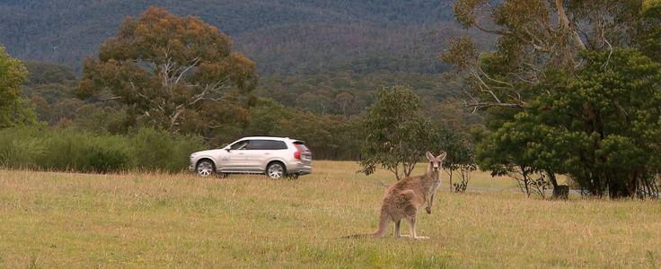 """Volvo, le auto senza pilota non """"vedono"""" i canguri. In Australia si corre ai ripari http://www.ilfattoquotidiano.it/2017/07/04/volvo-le-auto-senza-pilota-non-vedono-i-canguri-in-australia-si-corre-ai-ripari/3706692/?utm_campaign=crowdfire&utm_content=crowdfire&utm_medium=social&utm_source=pinterest"""