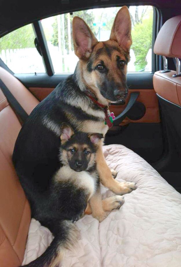 Cute pair of German Shepherds