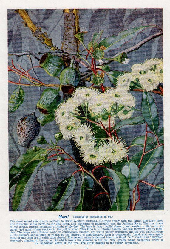 vintage print BOTANICAL, Australian Red Gum, White Eucalyptus Flowers,1945 botanical print, large size print on Etsy, $24.50