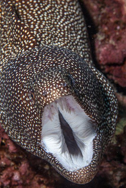 Whitemouth Moray Eel