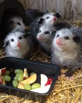 Possums chew funny