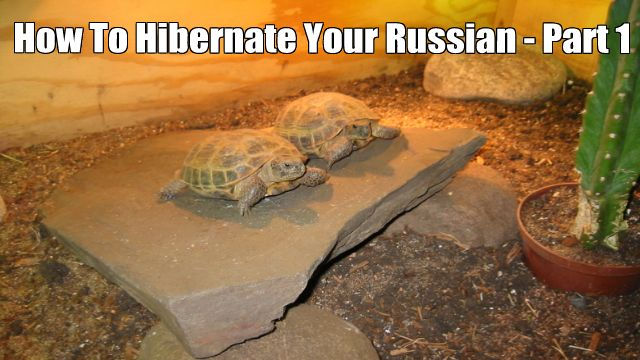 Part 1 of How To Successfully Hibernate Your Russian Tortoise