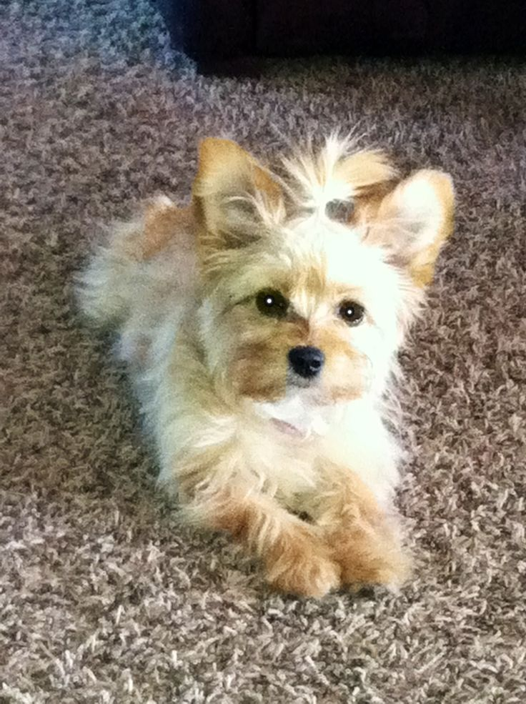 PapiPoo(poodle and papillion mix).. I don't know this looks more like a Yorkie..